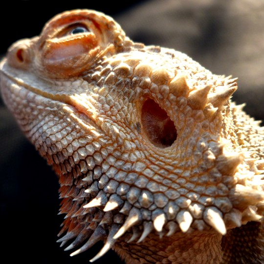 [Male Rankins Bearded Dragon - Meet The Beasts]