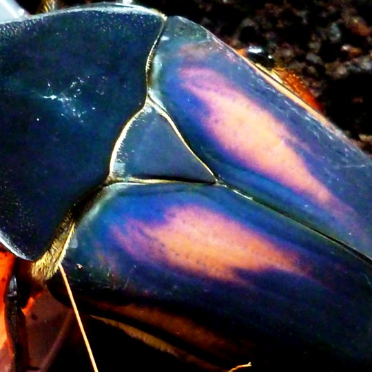 [Giant Blue Fruit Beetle - Meet The Beasts]