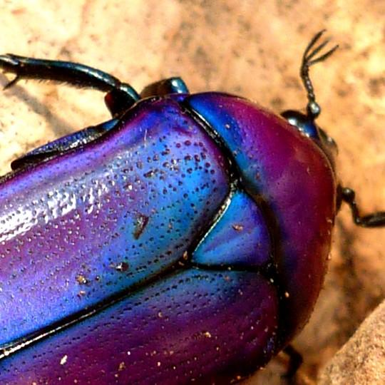 [Purple Jewel Beetle - Meet The Beasts]