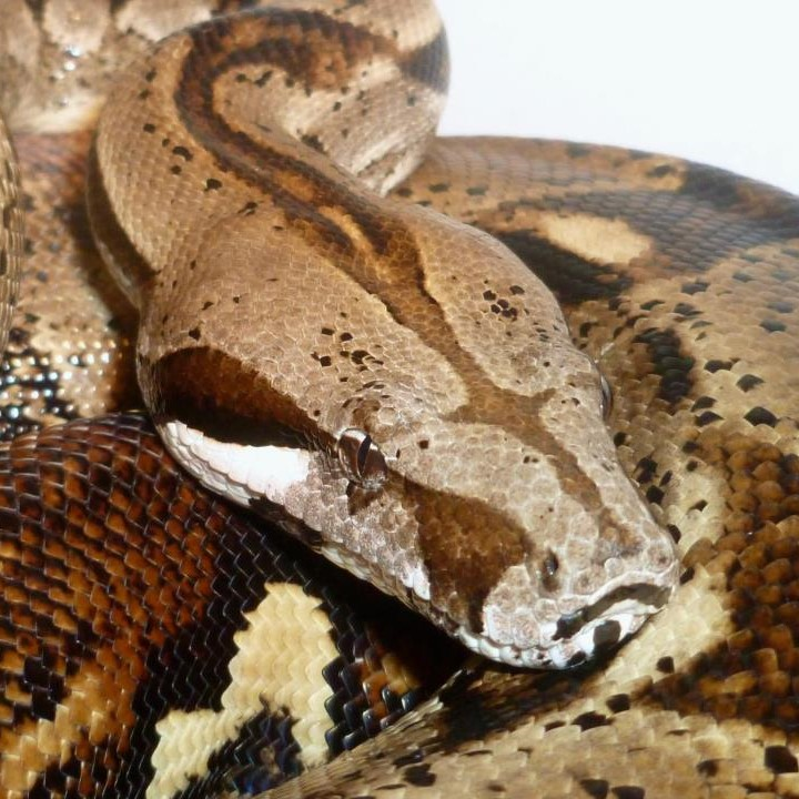[Geoff The Boa - Our Large Gentle Friendly Boa Constrictor Available On His Own]
