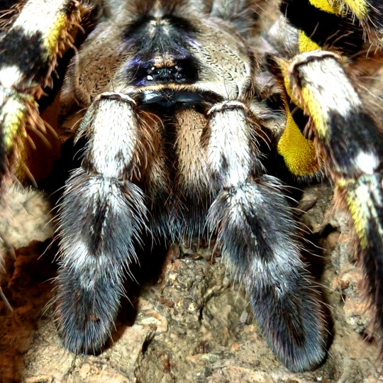 [Female Indian Ornamental Tarantula - Meet The Beasts]
