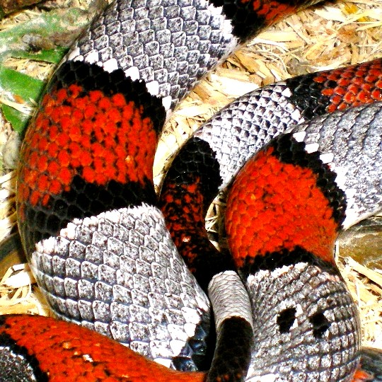 [Blairs Grey Banded Kingsnake - Meet The Beasts]
