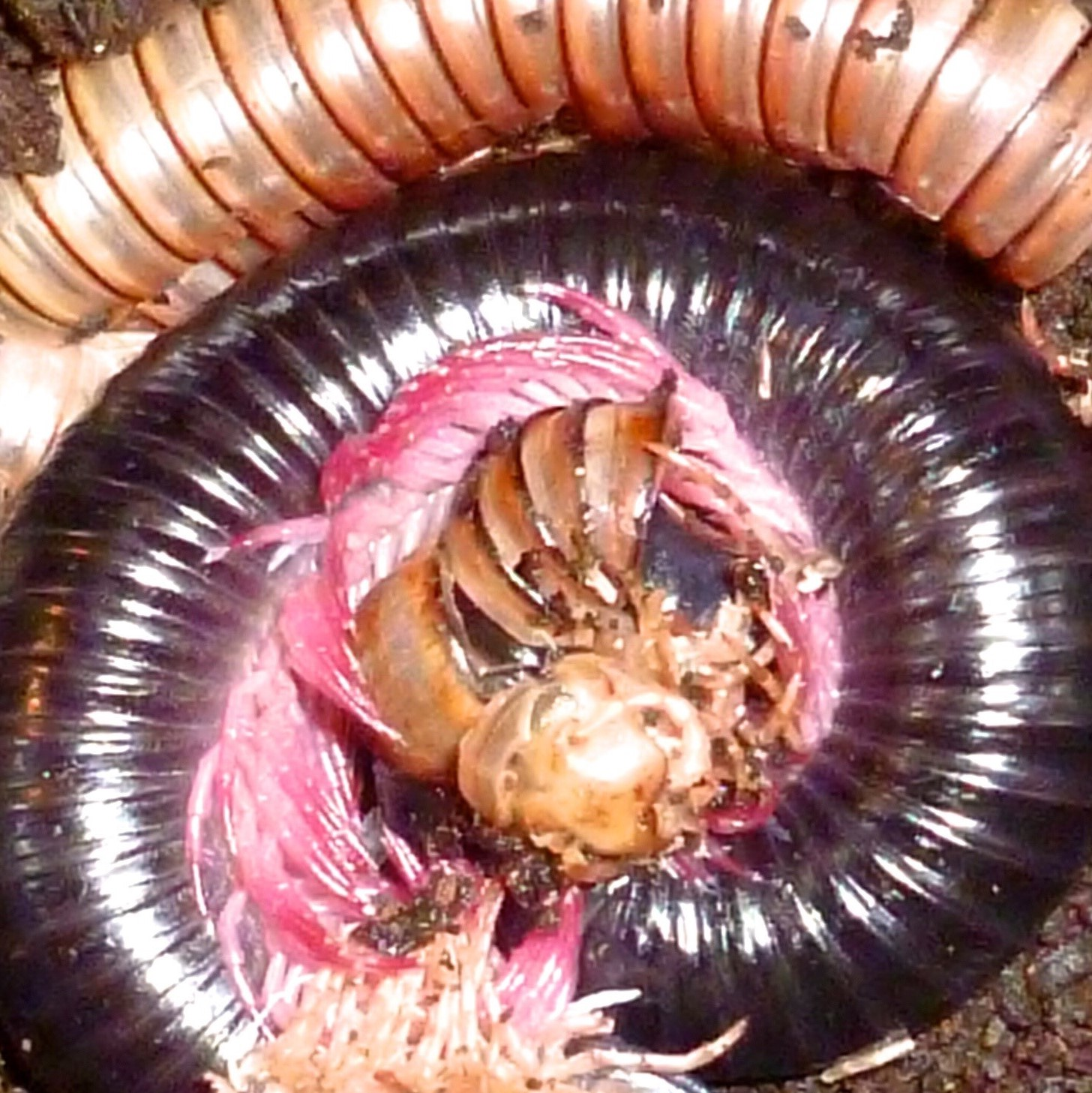 [Pink Leg Millipede Shedding - Meet The Beasts]