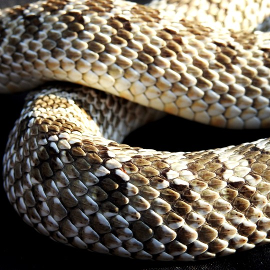 [Male Western Hognose Snake - Meet The Beasts]